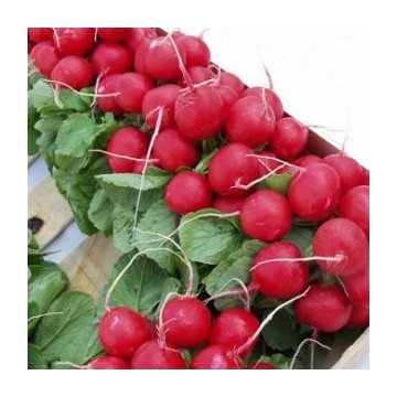 Radis ronds rouge Cherry Belle