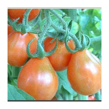 Tomate poires rouges