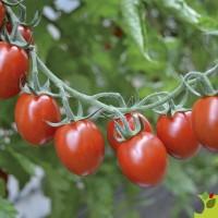 Tomates Tutti Fruti F1 type mini allongée