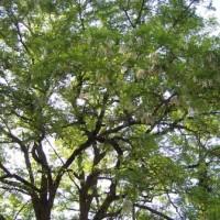 Acacia (ou Pseudorobinier)