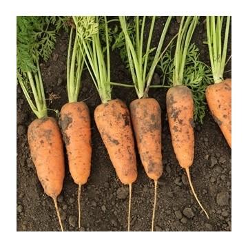 Carottes caracas graines schletzer - Arbre a carotte ...