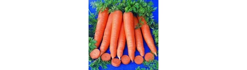 Carottes graines schletzer - Arbre a carotte ...