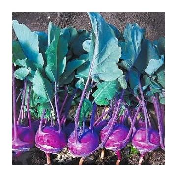 Choux rave violet Azur star