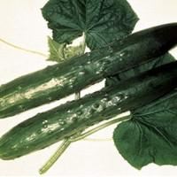Concombre Burpless tasty green F1