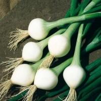 Oignons blancs Elody