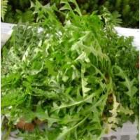 Pissenlit vert de Montmagny (gamme maraicher)