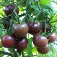 Tomates Black cherry type cerise noire
