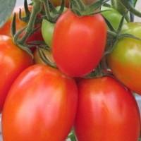 Tomate Colibri F1 (gamme maraicher)
