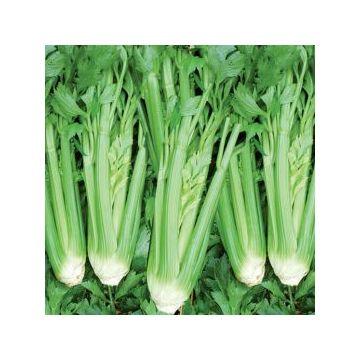 Celeri branche d'Elne Médicis