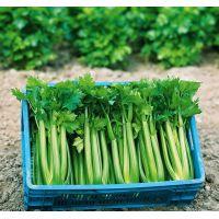 Celeri branche Tango (gamme maraicher)