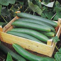 Concombre Tanja (gamme maraicher)