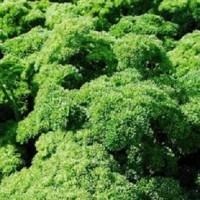 Persil Frisé grüne perle