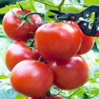 Tomates Serrat BIO F1