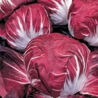 Chicorée rouge de Véronne Omega