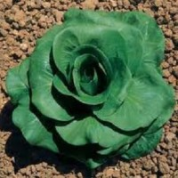 Chicorée grumolo verde